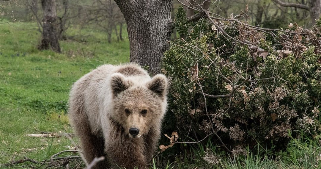 Αρκούδα κατέβηκε στις όχθες του Αξιού